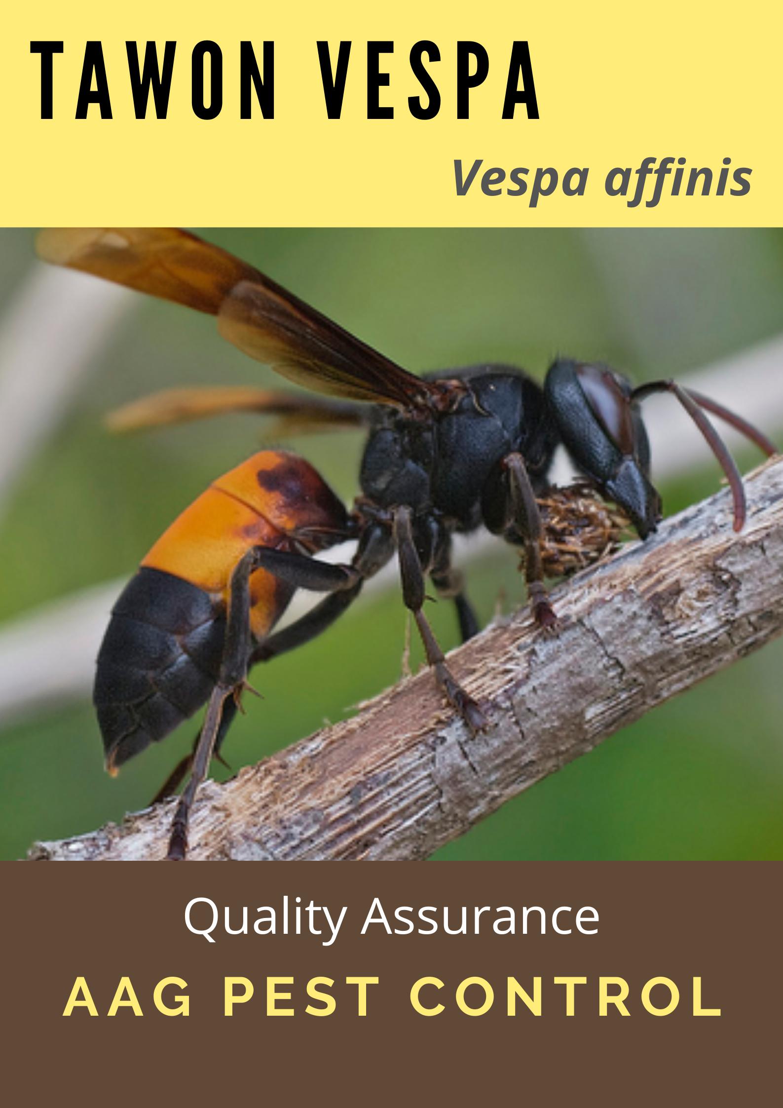 Cover Vespa affinis.png