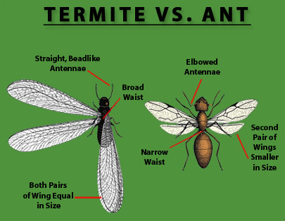 termite-vs-ant-new.jpg