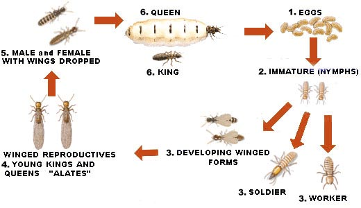 termite-lifecycle.jpg